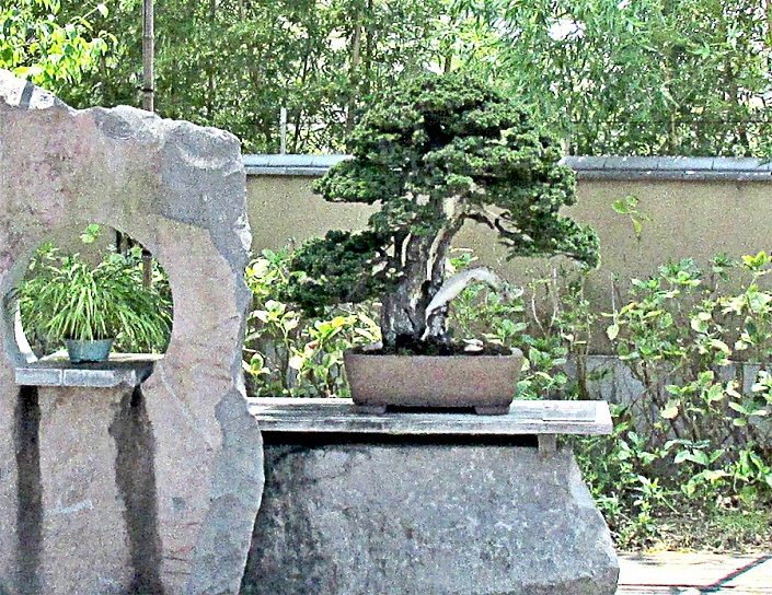 Bonsai-Japan-Bonsai-Japanische-Bonsai-04